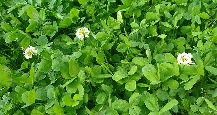 клевер цветы и листья
