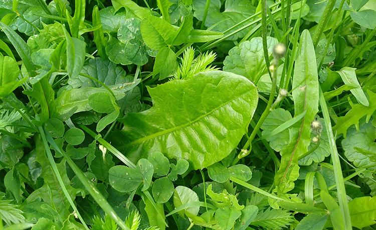 листы одуванчика